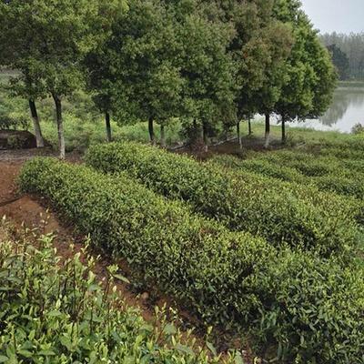 基地苗木種植